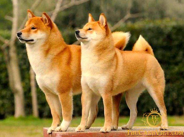 Chó akita - Giống chó hoàng gia