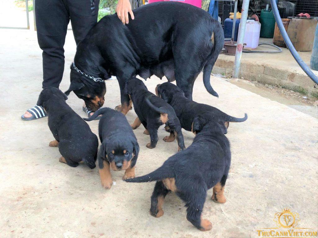 Đàn chó Rottweiler con thuần chủng 2 tháng tuổi - Mẹ nặng 50kg hàng khủng nhập châu âu