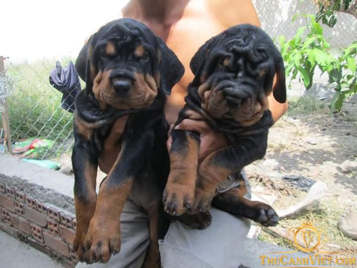 Chó Rottweiler Mặt Nhăn dòng đại