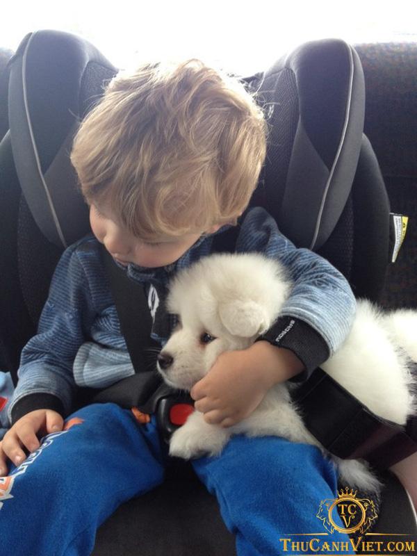 Cho bé vui chơi cùng cún samoyed thân yêu