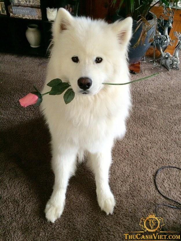 Những tình cảm mà chó samoyed tặng cho chủ nhân của mình