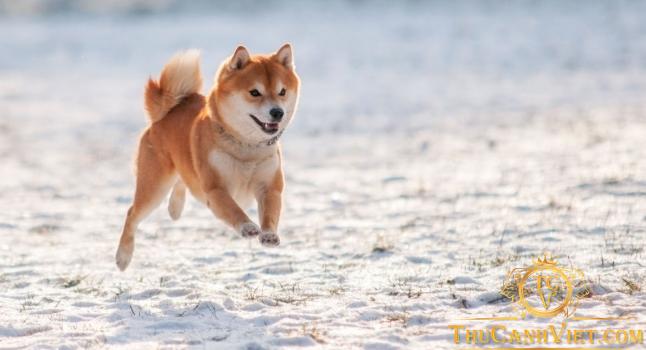 Chó shiba hay còn gọi là chó akita