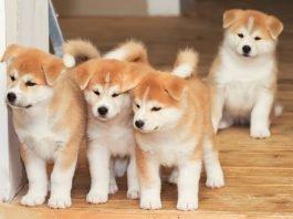 Mua bán chó akita 2 tháng tuổi ở hà nội và tphcm
