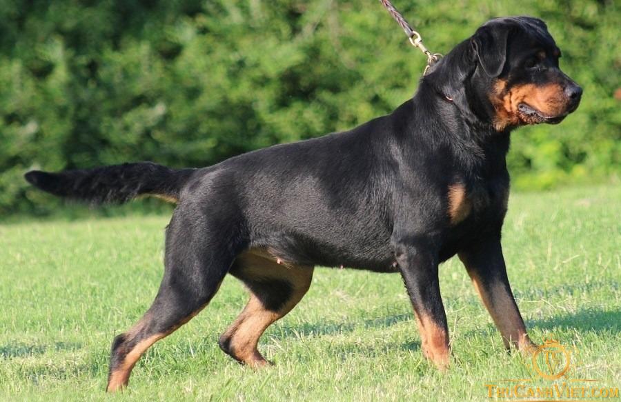 Sự uy nghi và hung giữ của chó Rottweiler