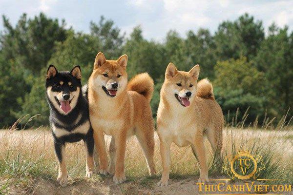 Shiba inu là giống chó Nhật được rất nhiều người yêu mến