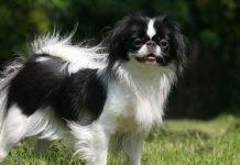 Chó Nhật Chin với ngoại hình rất quý tộc