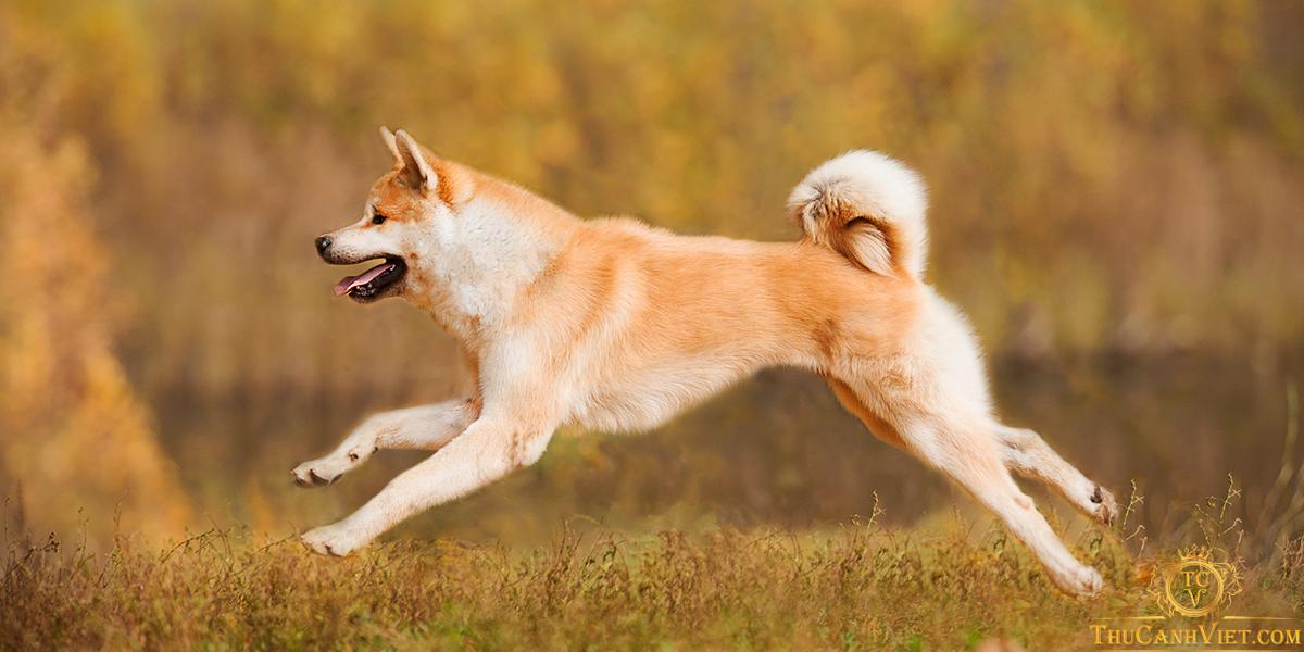 Akita là giống chó Nhật của Hoàng gia