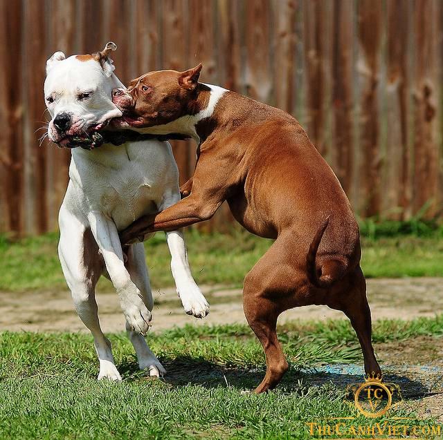Pitbull tham gia chọi chó