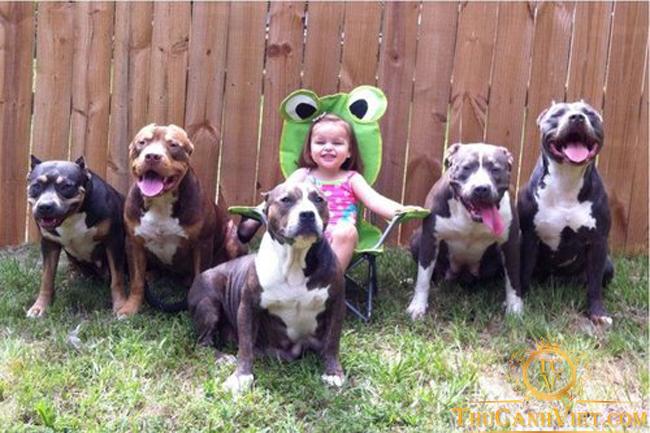 Pitbull rất thích chơi với trẻ em