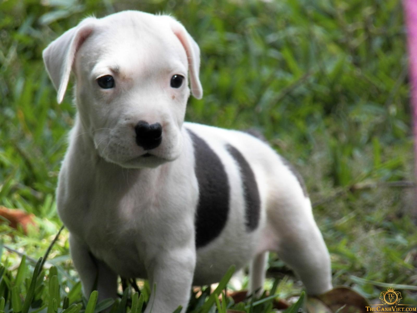 Em Pitbull baby xinh xắn thế này cơ mà