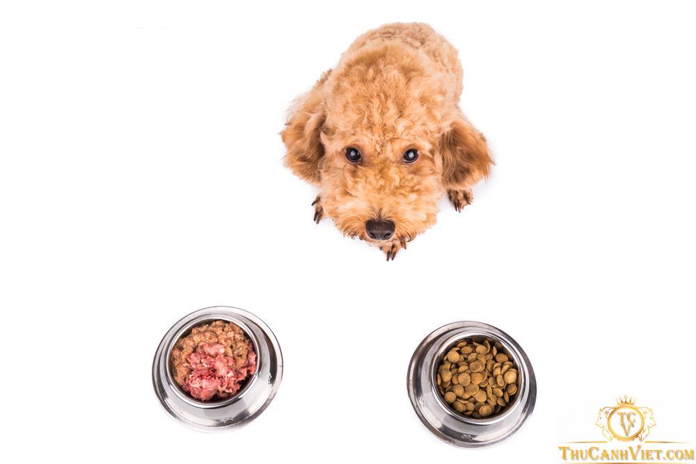 Chó Poodle ăn gì là vấn đề rất nhiều người quan tâm