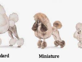 Chó Poodle thực chất chỉ có 3 loại