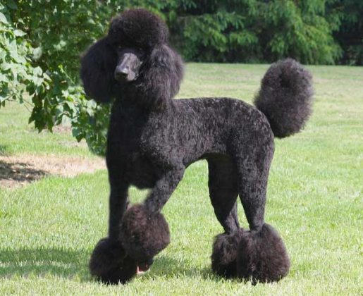Standard Poodle rất cao lớn và phù hợp với môi trường sống rộng rãi