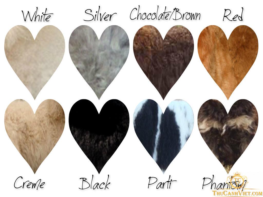 Các màu sắc của chó Poodle