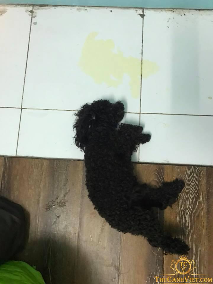 Một bé Poodle bị mắc bệnh truyền nhiễm