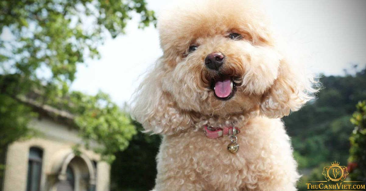 Không phải ai cũng có đủ điều kiện để mua chó Poodle với giá vài triệu đồng