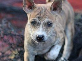 Chó Phú Quốc là một trong 3 dòng chó Xoáy trên Thế Giới