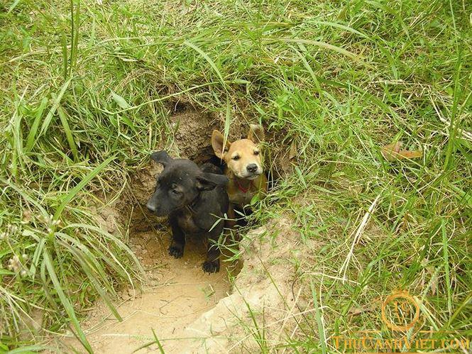 Chó Phú Quốc thường tự đào hang để sinh con