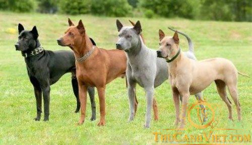 4 màu chó Phú Quốc
