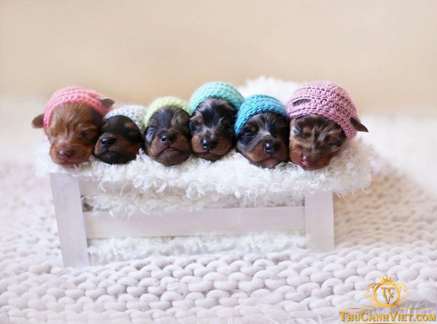 """6 chú chó """"xúc xích"""" con đáng yêu"""