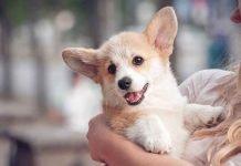 Mặt hớn hở của chú chó corgi bên cô chủ thân mếm