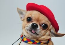 Gương mặt biểu cảm vô cùng đáng yêu của chó Chihuahua
