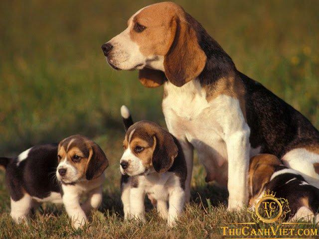 Beagle – Giống chó săn thỏ thân thiện với con người