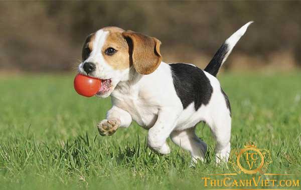 Chó săn thỏ Beagle - Giống chó thân thiện với con người
