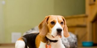 Chó Beagle với vẻ bề ngoài vô cùng đáng yêu