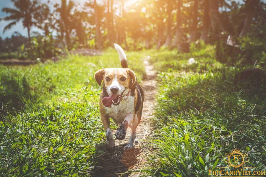 Sự tinh nghịch và thông minh của chó Beagle