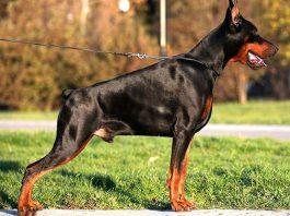 Chó Doberman-vệ sĩ đắc lực cho ngôi nhà của bạn