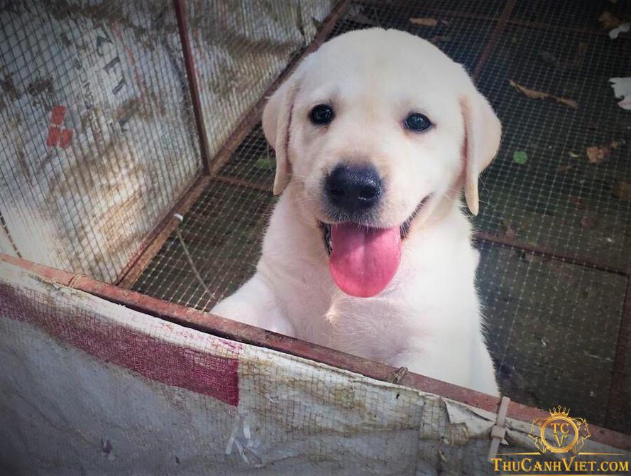 Labrador vàng kim 2 tháng tuổi đợi chủ yêu thương