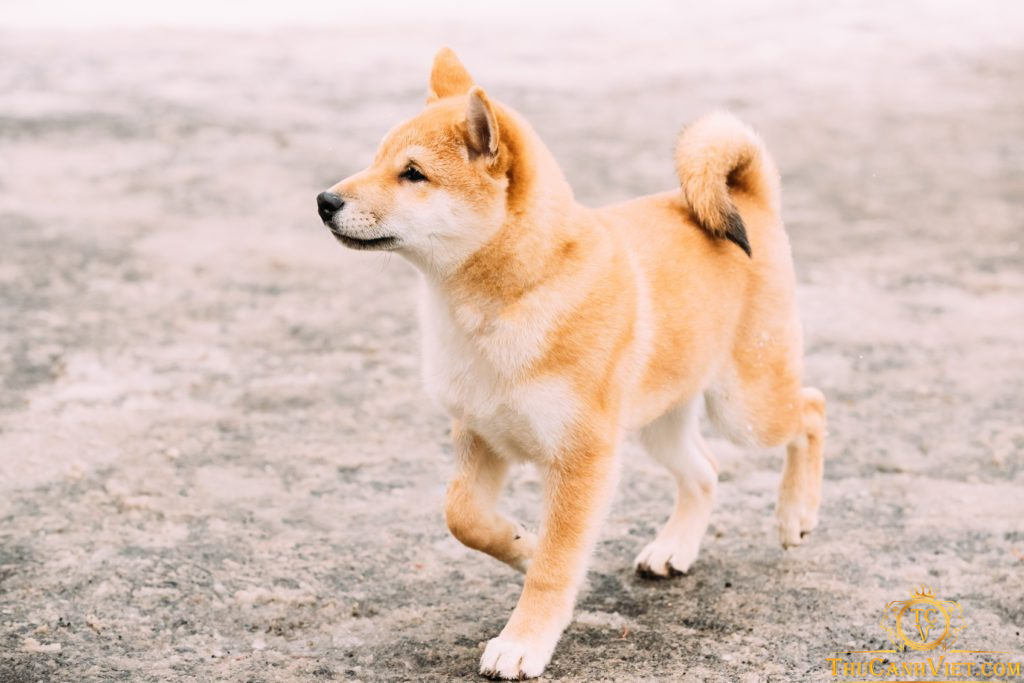 Shiba Inu-chú chó Nhật Bản gây nhiều thương nhớ vì quá đáng yêu