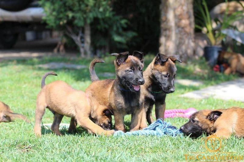 Khởi nguồn của giống chó Malinois Becgie Bỉ
