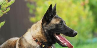 Tìm hiểu đôi điều về giống chó Malinois Becgie Bỉ