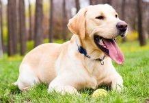 Tìm hiểu về dòng chó Labrador Retriever vô cùng thân thiện và quấn chủ