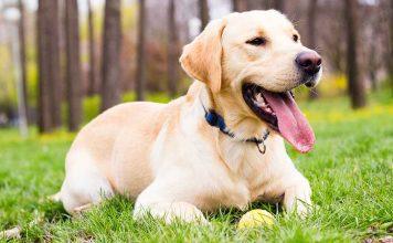 Tìm hiểu về dòng chó Labrador Retriever