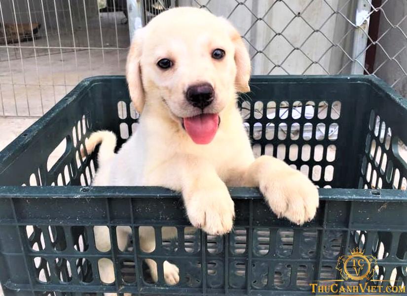 Labrador  bạch kim 2 tháng tuổi