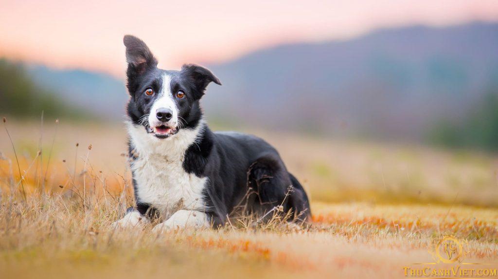 Border Collie-giống chó cảnh có chỉ số IQ cao nhất