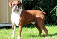 Chó Boxer-những võ sĩ dũng cảm và kiêu hãnh