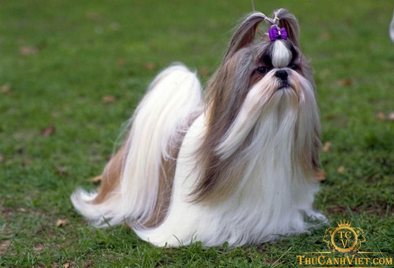 Chó-Shih-Tzu-giống-chó-xuất-hiện-từ-10.000-năm-trước