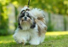 Chó Shih Tzu- giống chó xuất hiện từ 10.000 năm trước