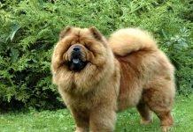 Chow chow-chó sư tử xù đáng yêu nhất quả đất