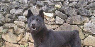 Chó Mông Cộc-giống chó bản xưa của dân tộc H'mông
