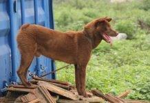Chó Mông Cộc giống chó bản xưa của dân tộc H'mông
