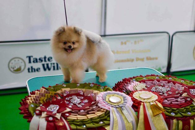 Chó phốc sóc tuyển chọn đi thi DogShow quốc tết