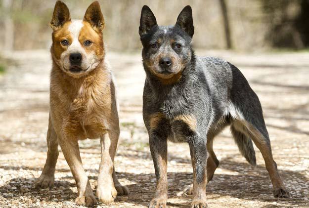 Đôi nét về chó chăn bò Úc (Australian Cattle Dog)