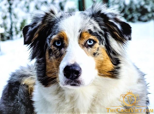 Khuôn mặt chó Australian Shepherd rất giống với boder collie Biên Giới