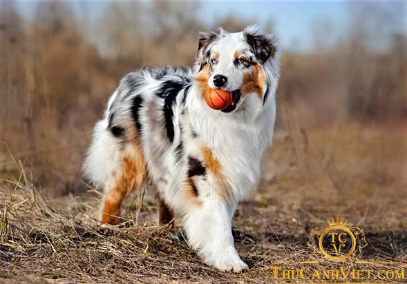 Sự pha trộn giữa các giống gen sẽ được ra được màu lông độc lạ của chó chăn cừu úc