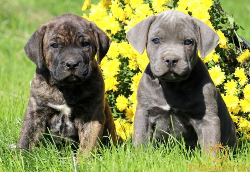 2 Chú chó Cane Corso Puppies màu vện và xám blue